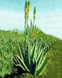 Aloe vera las terrenas live les conseils beaut et - Terre pour aloe vera ...